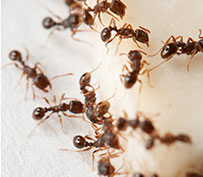Other Pest Control Services - Fire Ants, Stinging Insects, Fleas & Bed Bugs