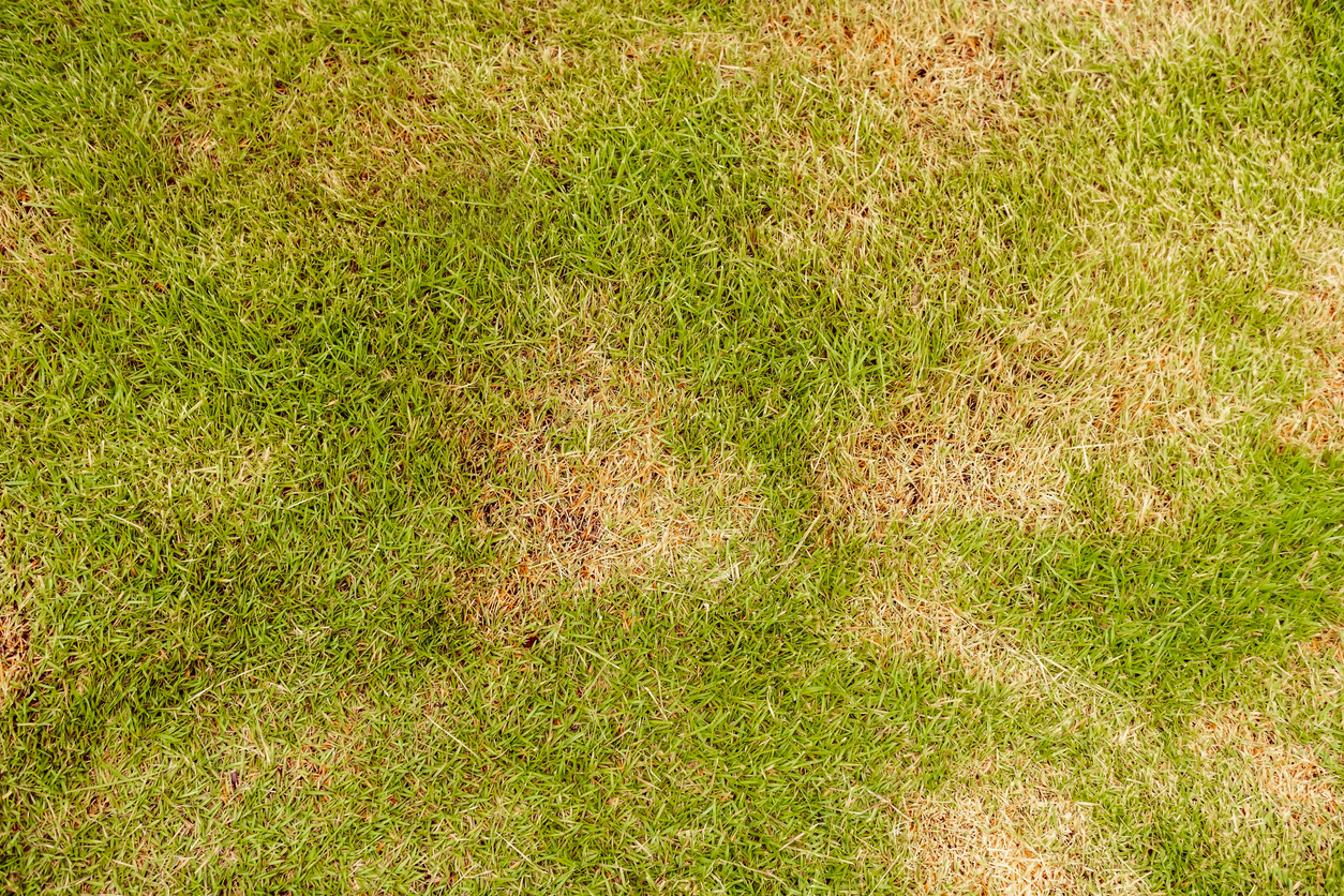 Spotty Lawn? These Pests Could Be Why