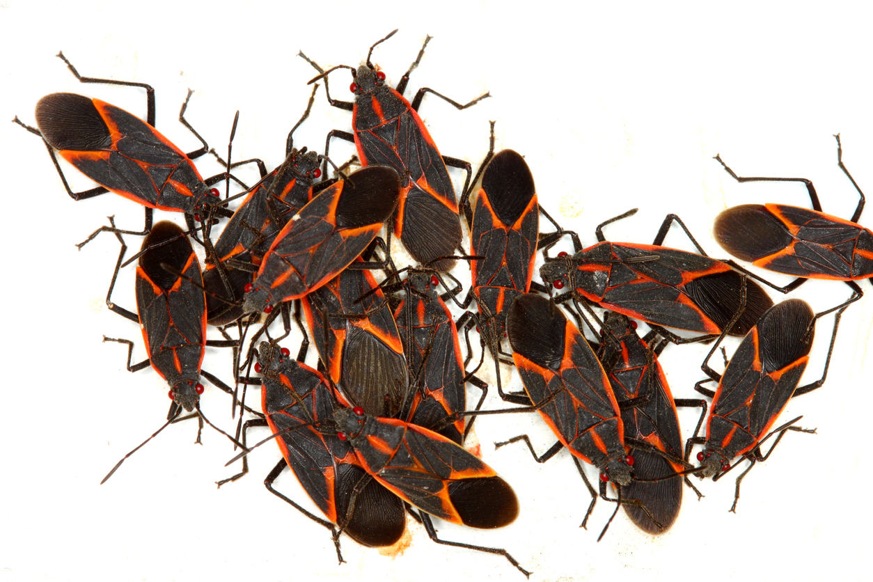 Beat Boxelder Bugs At Their Own Game
