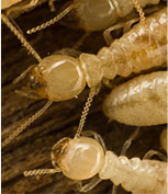 Termite Control for Homeowners